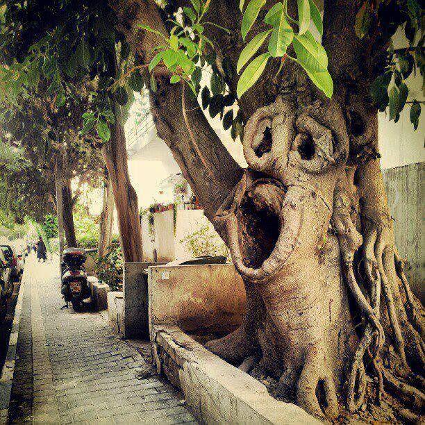 Tree in Tel-Aviv, Israel (looks like the tree has a face). #Israel