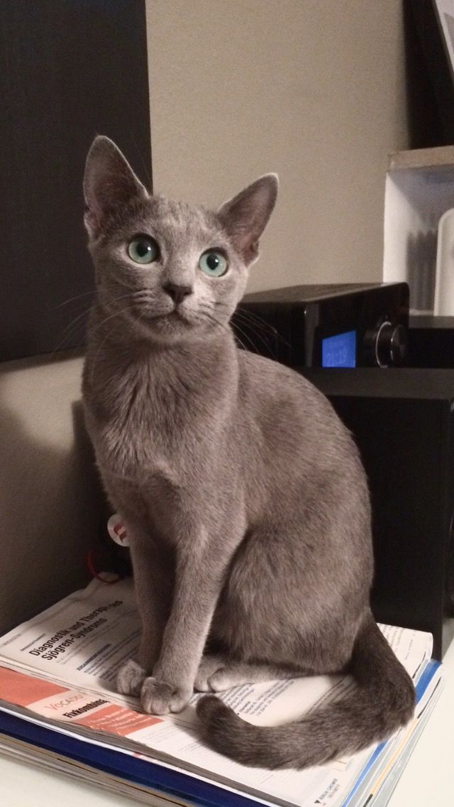 Ivy, my loyal Russian Blue 8 month.