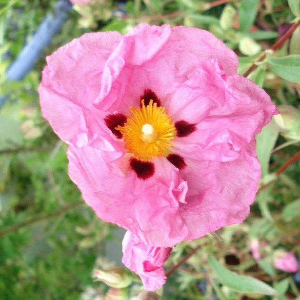 Cistus purpureus - Ciste pourpre