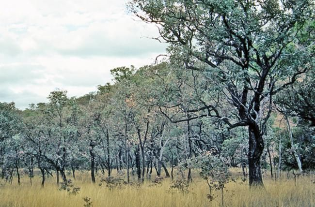 Eucalyptus melanophloia  (Silver leaf Ironbark)