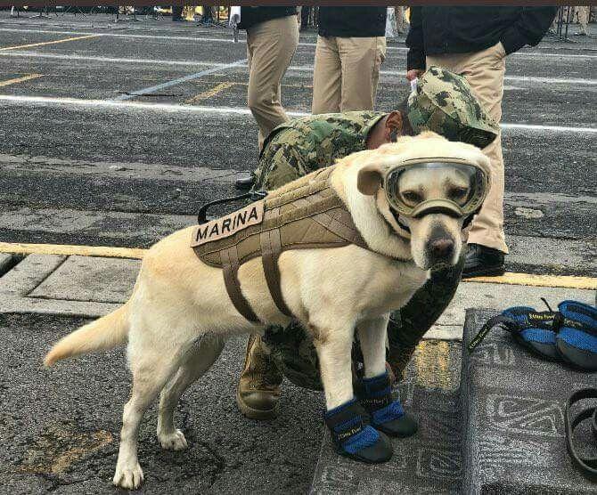 Frida perro rescatista secretaria de marina mexicana rescato 52personas sismos México Ecuador Haití torre pemex