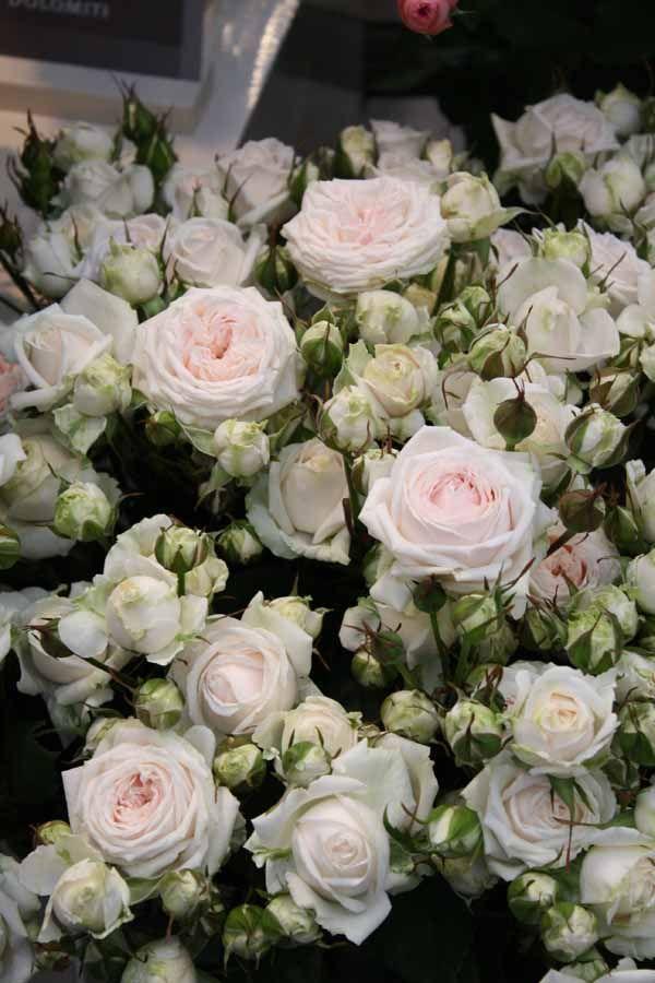 White Garden Rose 111 best flowers white, ivory & cream images on pinterest | fresh