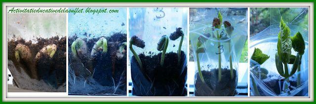 Vrejul de fasole - observatii experimentale (2 ani si 7 luni)