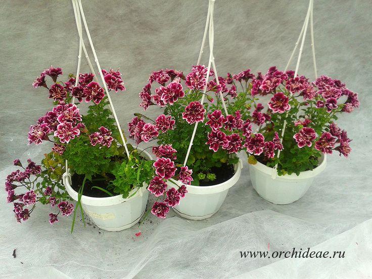 Пеларгонии, комнатные растения, купить