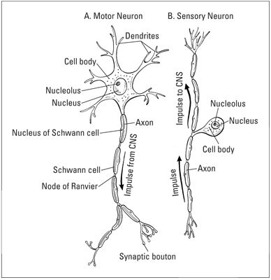 The basic structure of (A) motor neuron and (B) sensory