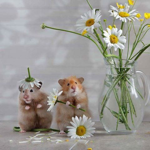 theenchantedcove: pawsforpets: hamsters / (source: pakse)