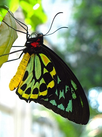 Can't wait for the return of Butterflies LIVE! this spring at Lewis Ginter Botanical Garden. This is a photo of my favorite, a green birdwing butterfly or Ornithoptera euphorion. Photo by Cheryl Shanahan Lucky Ginger Studio.