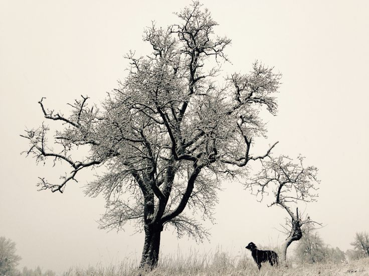 My Scottish Deerhound Kayden in the first snow of the winter - picture of my heart... <3