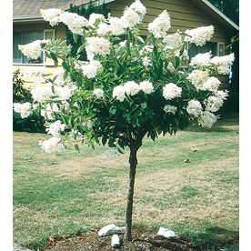 �5.5-Gallon White PeeGee Hydrangea Tree (L9285)