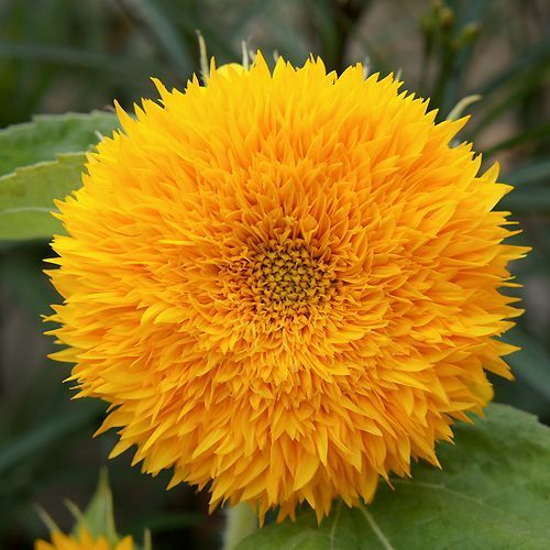 SUNFLOWER TEDDY BEAR :: 30 seeds via Green Seed Tasmania. Click on the image to see more!