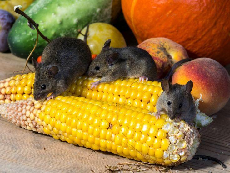 Борьба с мышами в доме и на дачном участке. Грызуны, крысы, мыши. Фото - Ботаничка.ru