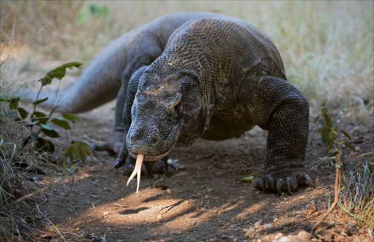 Komodo dragons have long, forked tongues that they use to help smell and taste and infect their prey.