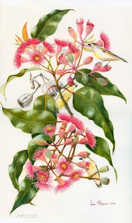 Eucalyptus ptychocarpa - Helen Fitzgerald