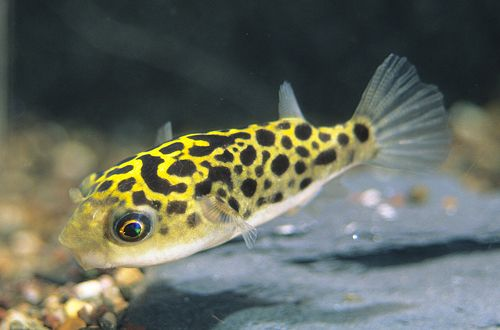 17 best images about fish on pinterest lobsters pink On leopard puffer fish