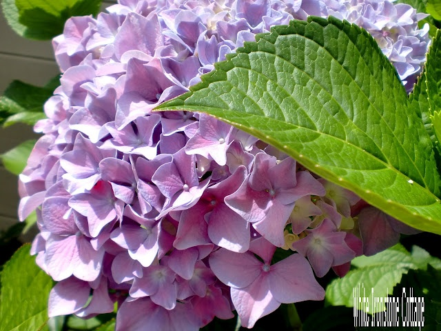Here is the secret trick I use here  in California to get the different colors to bloom  I put small nails in the soil near the base of the hydrangea   {be careful not to hurt the roots}  the iron in the nails helps to turn the hydrangeas purple and blue: Small Nails, Yard Gardens, Ironston Cottages, Gardens Information, White Ironston, Bloom Hydrangeas, Hydrangeas Purple, Nails Help, The Roots