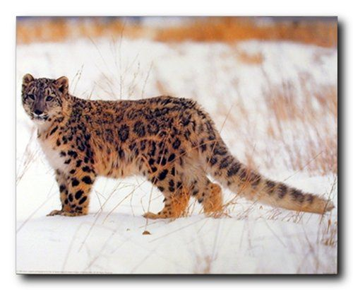 Simply Fabulous! Poster will be a stunning and elegant addition to any space. Your home surely will brighten up with the presence of this leopard art print poster. This poster depicts the image of leopard standing in a snow field looking very adorable is sure to make adorable atmosphere to your home. It would be perfect addition for your home and grab lot of attention. It is a perfect gift for any wildlife nature lover. Get up and buy this poster for its high quality and beautiful color…