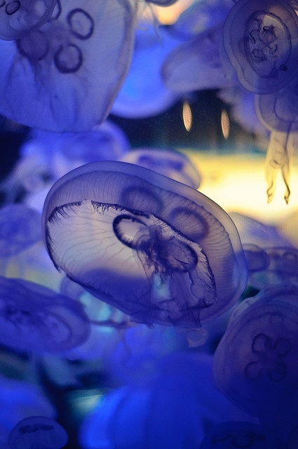 jellyfish are seriously beautiful. every time I go to the aquarium, I get stuck staring at the jellyfish