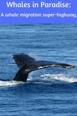 The Travelling Lindfields: Whales in Paradise - Whale Watching on Australia's Gold Coast