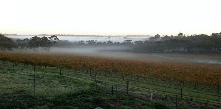 Mist through the vineyard