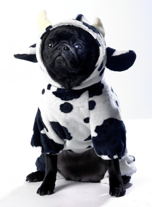 a pug dressed as a cow - Baby Cow Costume Halloween