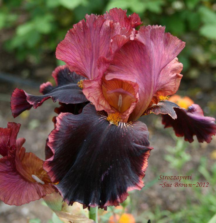 http://www.pinterest.com/parrotheadliz/outdoor-stuff/  LOTS OF IRISES  Iris 'Strozzapreti'