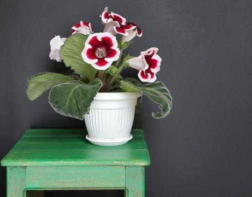 Zvonovité, až 8 cm široké květy se předhánějí v kráse a barevnosti. Je libo růžové, červené, fialové s bílým lemováním či plnokvěté? Kvetoucí gloxínie s listy kolem květů vypadá jako luxusní kytice.