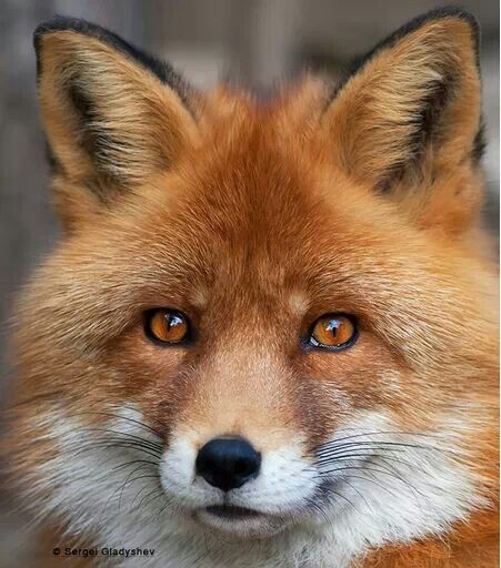 red fox face and - photo #18