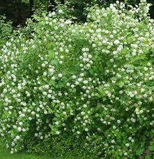 Physocarpus opulifolius -