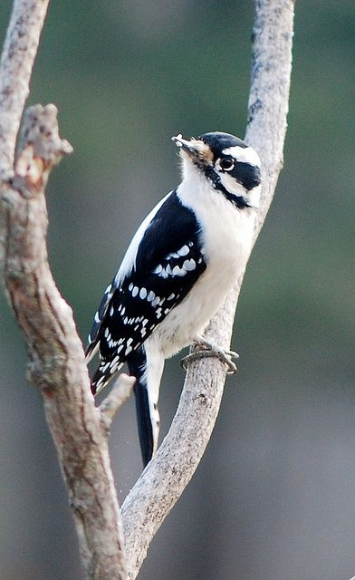 Downy Woodpecker.  We had TWO of these lovely little ladies in the back yard at once.