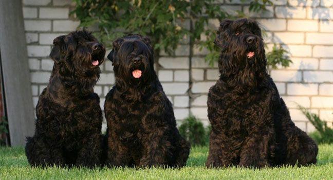 Razas de perros: Terrier Ruso Negro