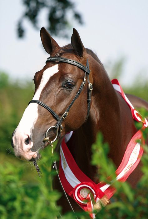 Blue Hors Don Romantic  Danish Warmblood by Don Schufro