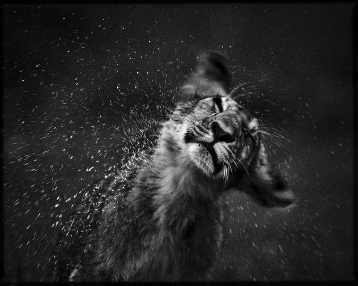 Assez Les 25 meilleures idées de la catégorie Lion noir sur Pinterest  HJ92