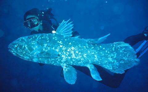 Descifran el ADN del celacanto