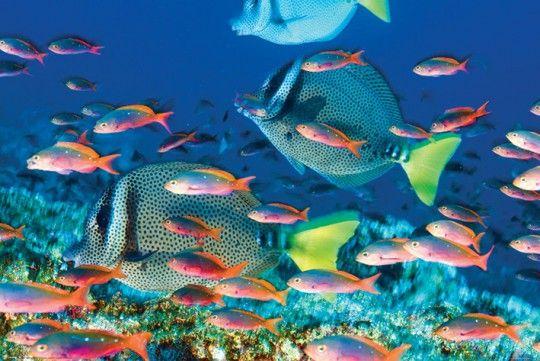 Rybki Pokolec Białobrody Rafa Koralowa - plakat