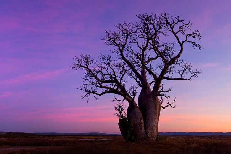 The Boab, easily recognized by the swollen base of its trunk, is commonly found in the Kimberley region of Western Australia, and also in the Northern Territory. This particular Boab stood out against the flat land behind it, and I knew it had to be photographed. I first arrived at this scene in the middle…
