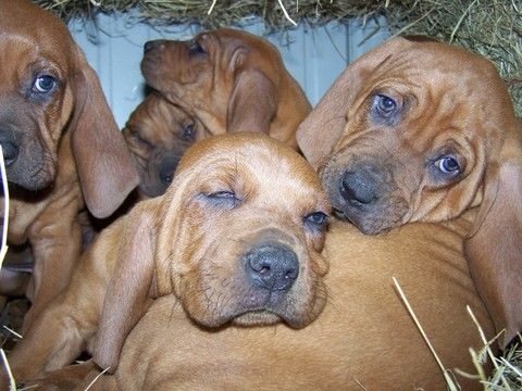 Litter of 9 Redbone Coonhound puppies for sale in