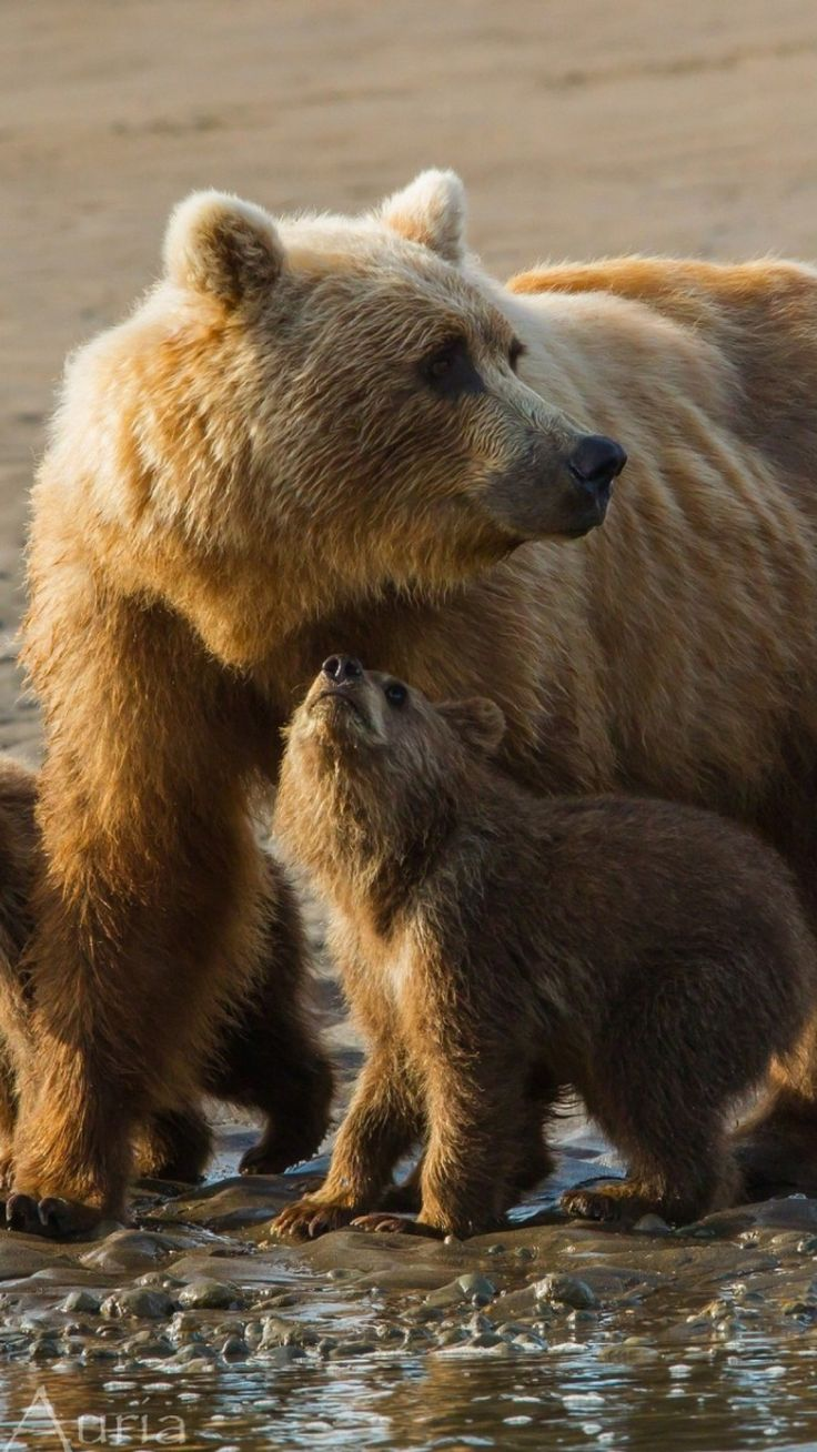 bears, cubs, family, sand