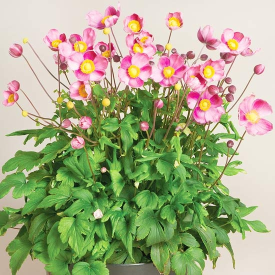 Pretty Lady Series Anemones    The Pretty Lady series features dwarf plants with lots of blooms. 'Pretty Lady' Fall anemones offer fresh color in summer-tired gardens. Plant with hardy mums or asters for a fall floral show.    Growing Conditions: Full sun to partial shade, well-drained soil    Size: 16 inches tall, 24 inches wide  Zones: 5-9  Grow It With: Asters