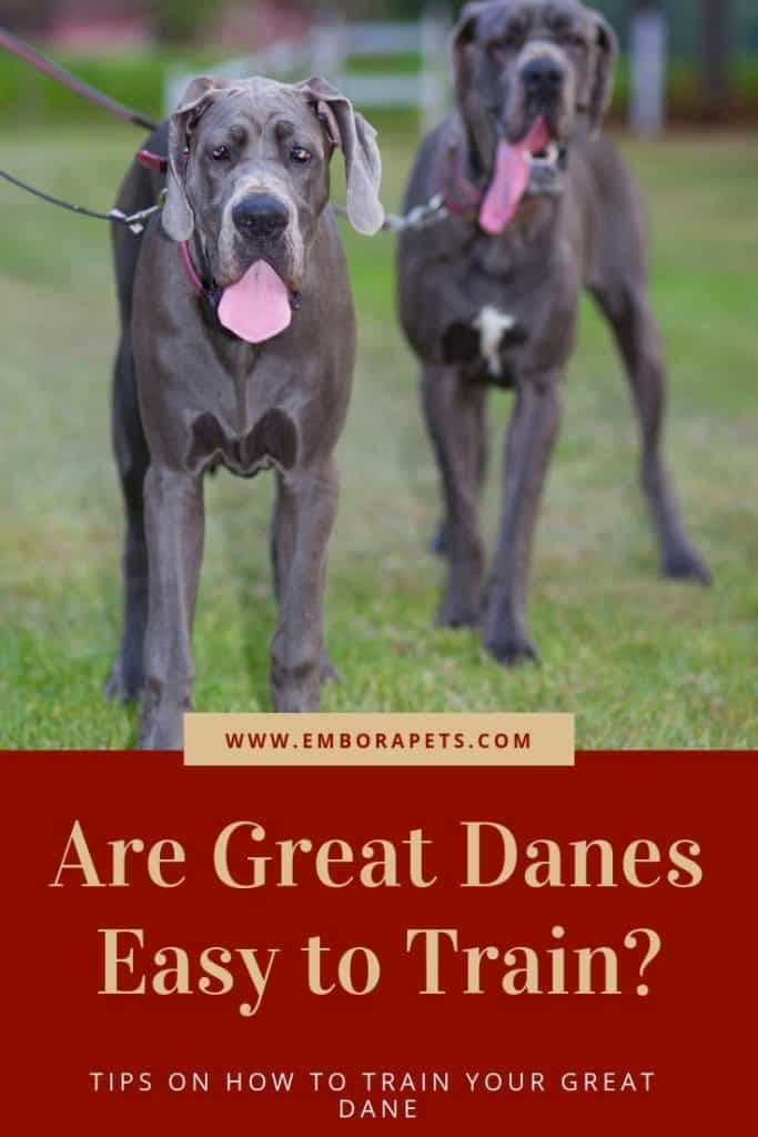 Thinking About Owning A Great Dane But Aren T Sure If It Will Be