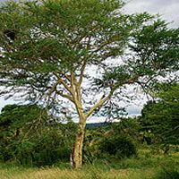 Fever  tree acacia(Acacia xanthophloea) Characteristics Deciduous and semi-deciduous tall tree with distinctive yellow-green bark Animal associations Elephants eat leaves and branches; baboons and monkeys eat flowers; trees often have weavers' nests