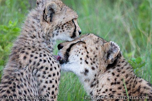 Cheetah with cub (Moremi Game Reserve, Botswana) - Botswana travel guide: http://www.safaribookings.com/botswana