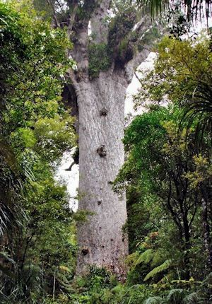 Tane Mahuta - Lord of the Forest:: Located in Waipoua Forest, North Island, New Zealand, is the largest living kauri with a height of 169ft (51m) and a girth of 45ft (13.8m). It is thought to be 2,000 years old. A kauri twice as old and three times larger was destroyed by fire in the 1800's.
