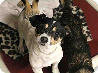 Mesa, AZ - Parson Russell Terrier Mix. Meet A3868041, a dog for adoption. http://www.adoptapet.com/pet/17320514-mesa-arizona-parson-russell-terrier-mix