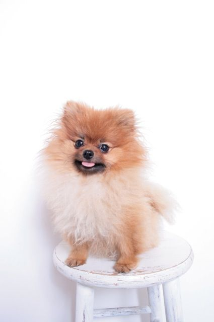 pomeranian chow 1000 ideas about pomeranian mix on pinterest dogs for 5895