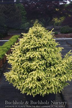 Buchholz & Buchholz Wholesale Nursery | Our Plants | Picea abies 'Perry's Golden' (Perry's Golden Norway Spruce)