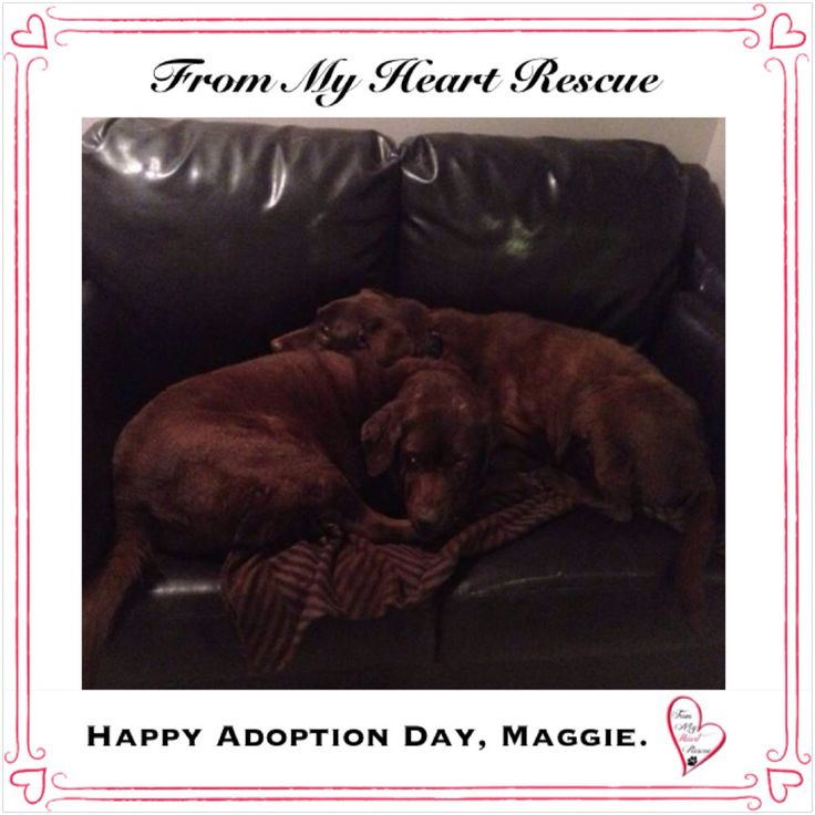 #Please ❤️+ #Pin #FMHR #FromMyHeartRescue #RescueWithoutBorders #SavingOneDogAtaTime ~ #Happy #Adoption #Day #Maggie *We are so happy to announce that Maggie's Foster, Brenda, is now Maggie's forever mom. Brenda also adopted another senior of ours Quimo, now known as Ronald. Well the rest is history and the perfect union. Be happy Maggie and Ronald, and a huge thank you to Brenda for opening your heart and home to another senior. *Foster, Adoption, PayPal: frommyheartrescue@hotmail.com
