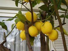 Growing lemon trees in pots. Meyer Improved dwarf's are supposed to have very fragrant flowers and tasty fruits. ^_^