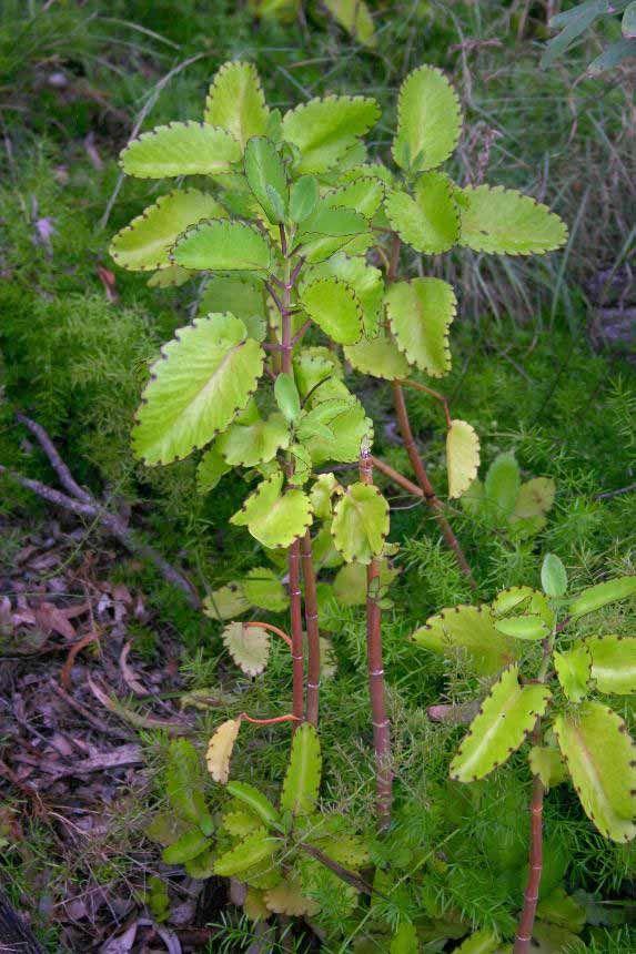 Bryophyllum pinnatum plant image