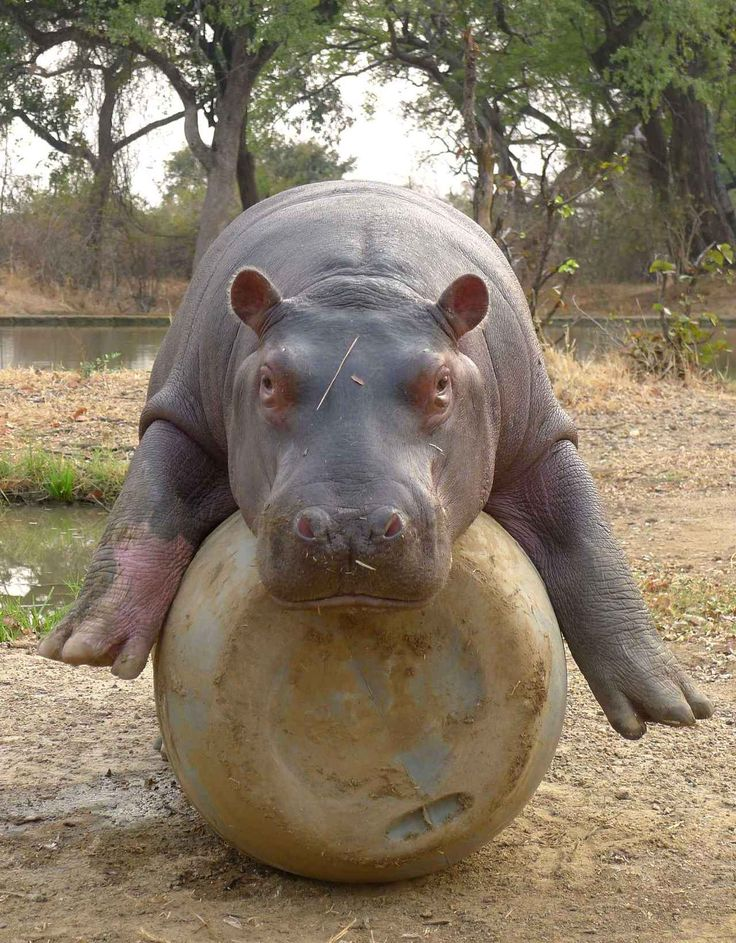 Magical Nature Tour, Wenn/Sipa Baby hippo, Cute hippo