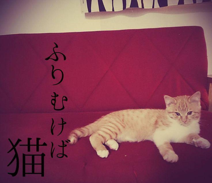 いいね!113件、コメント9件 ― 駒猫(komaneko)さん(@komaneko0919)のInstagramアカウント: 「わび助が、ソファーでくつろぐマライヤキャリーに見える。  #japan#cat#猫のいる暮らし#ねこ#こねこ#猫#子猫#赤いソファー」
